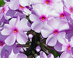 Phlox mac alpha