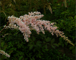 Astilbe betsycuperus