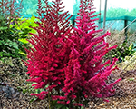 Astilbe censationlighthouse