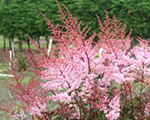 Astilbe delftlace