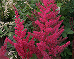 Astilbe williamreeves