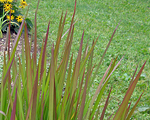 Imperata cylindrica red bar