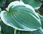 Hosta austindickinson