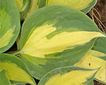 Hosta beachboy