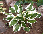 Hosta patriot fortunei