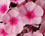 Phlox pan brighteyes
