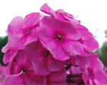 Phlox pan classiccassis