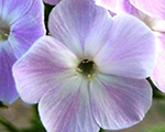Phlox pan coolwater