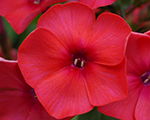 Phlox pan juliglut