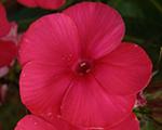 Phlox pan mary
