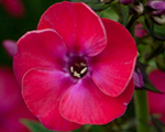 Phlox pan strawberrydaiquir