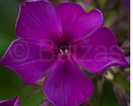 Phlox pan theking