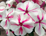 Phlox pan twister