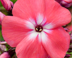 Phlox pan watermelonpunch