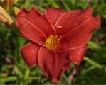 Hemerocallis regalair