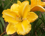 Hemerocallis golden gift