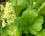 Heuchera blondieinlime