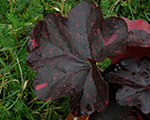 Heuchera midnightroseselect