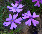 Phlox sub purplebeauty