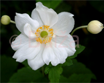 Anemone honorinejobert