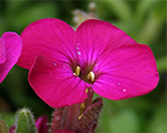 Arabis caucasica littletreasuredeeprose