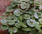 Asarum europeum