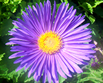 Aster alpinus beautyblue