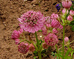 Astrantia major mix