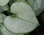 Brunnera lookingglass
