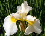 Iris dreamingyellow