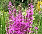 Lythrum dropmorepurple