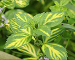 Mentha gracilis ginger
