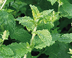 Mentha species almira