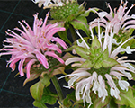 Monarda panoramagently