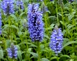 Nepeta nervosa bluemoon