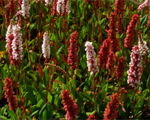 Polygonum affine