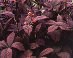Rodgersia chocolatewings