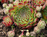 Sempervivum mazais