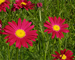 Tanacetum robinsonsred