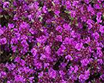 Thymus preacox redcarpet
