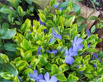 Vinca aureovariegata