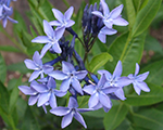 Amsonia blueice