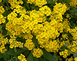 Alyssum saxatile goldcushion