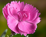 Dianthus dinettapink