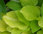 Hosta goldenscepter
