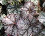 Heuchera hollywood