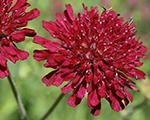 Knautia macedonica redknight