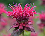 Monarda panoramaraspberry