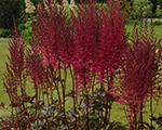Astilbe mightychocolatecherry