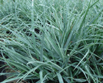 Carex bluezinger